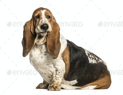 Basset Hound sitting against white background