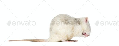 Domestic rat sitting against white background