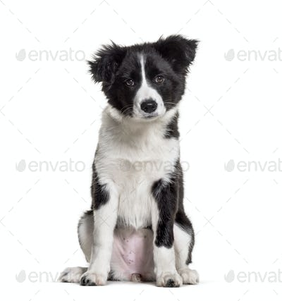 Three months old puppy black and white Border Collie sitting against white background