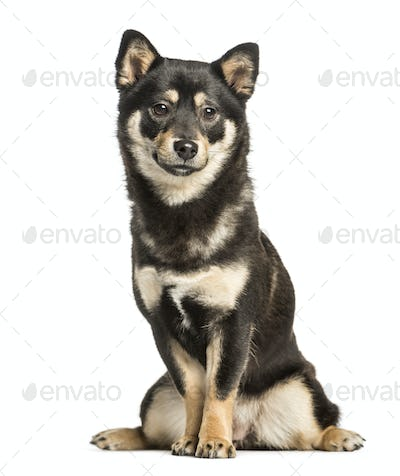 Shiba inu, 11 months, sitting against white background