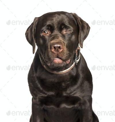 Chocolate Labrador retriever sitting against white background