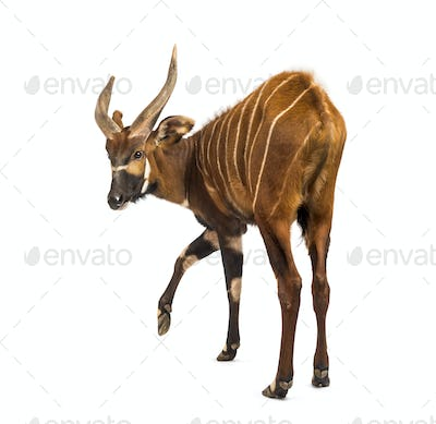 Back view of a bongo, antelope, Tragelaphus eurycerus standing against white background