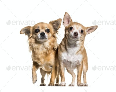 Chihuahua dogs standing against white background