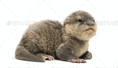 Baby Asian small-clawed otter