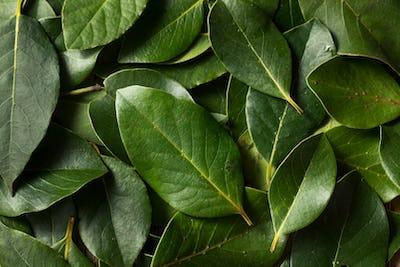 Raw Green Organic Bay Leaves