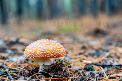 Single mushroom of fly agaric or Amanita Muscaria in forest