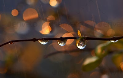 Water drops on the twig after the rain