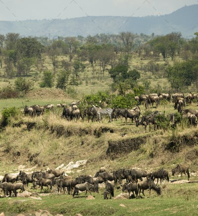 Zebras and Wildebeest in the Serengeti, Tanzania, Africa