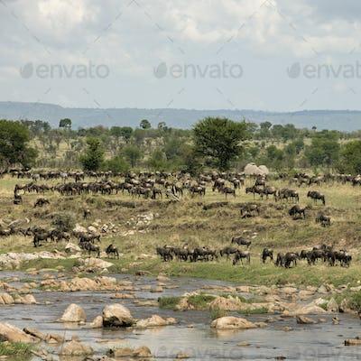 Herd of wildebeest by River Mara, Tanzania, Africa