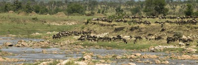 Wildebeest in the Serengeti, Tanzania, Africa