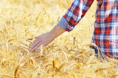 Farmer at cornfield touching wheat spikelets by his hand