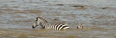 Zebra crossing river in Serengeti, Tanzania, Africa