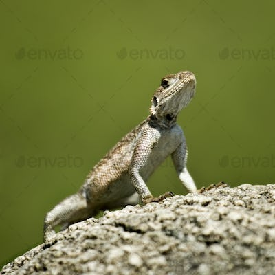 Rock Agama, Serengeti National Park, Serengeti, Tanzania