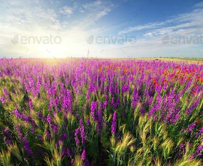 Meadow of spring violet flowers