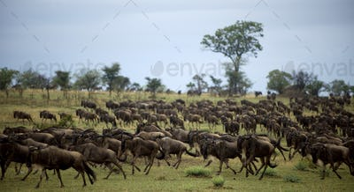 Wildebeest running, Serengeti National Park, Serengeti, Tanzania, Africa