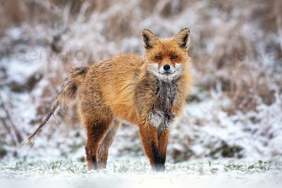 Red fox infected with mange without fur on the tail in winter standing on snow