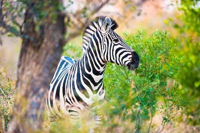 Plains zebra (Equus quagga) profile view