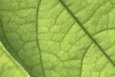 leaf cell structure