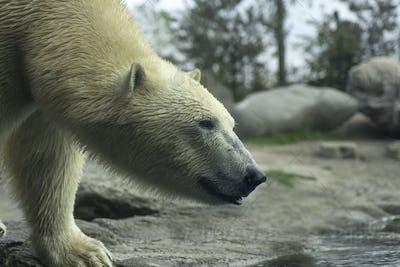 Polar bear closeup