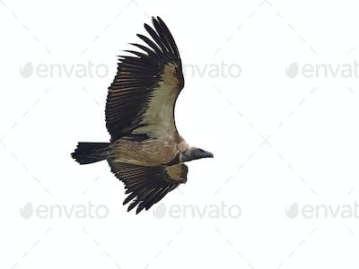 White-backed vulture (Gyps africanus)