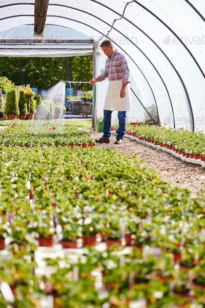 Mature Man Working In Garden Center Watering Plants In Greenhouse