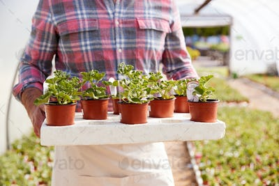 Close Up Of Mature Man Working In Garden Center Greenhouse Holding Tray Of Seedlings In Pots