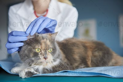Vet checking cat's ear condition