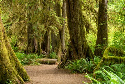 Hall of Mosses in the Hoh Rainforest of Olympic National Park, W