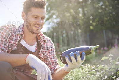 Picture of man with harvested eggplant