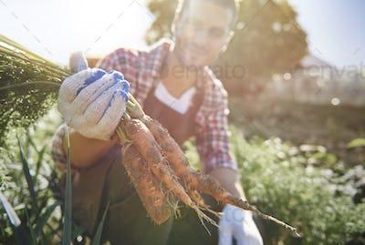Farm worker harvesting ripe carrots