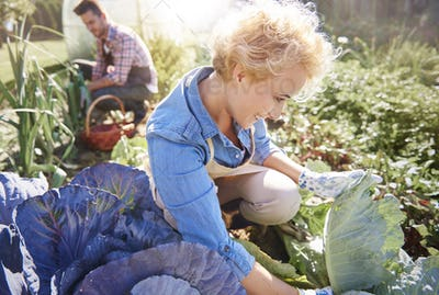 Woman with man picking cabbages