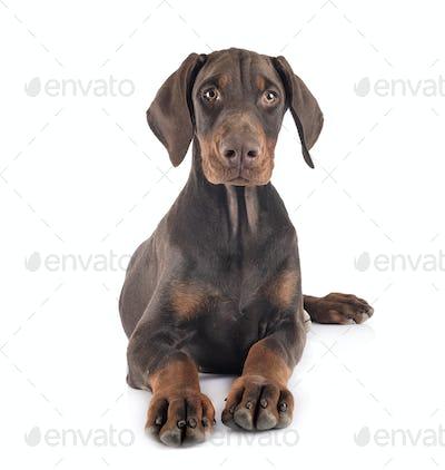 puppy doberman pinscher in studio