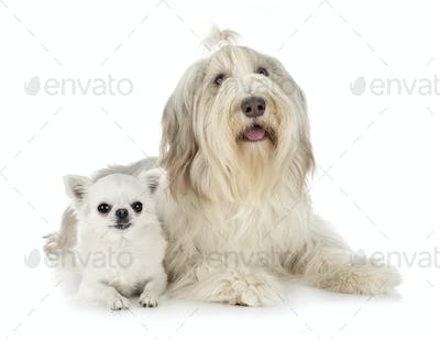 bearded collie and chihuahua