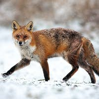 Injured red fox passing by on in a polar landscape with snow in wintertime