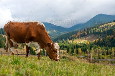 Brown cow on pasture in mountains