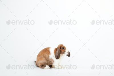 Studio Portrait Of Miniature Brown And White Flop Eared Rabbit Sitting On White Background