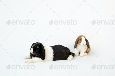 Studio Portrait Of Two Miniature Black And White Flop Eared Rabbits On White Background