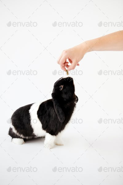 Hand Feeding Miniature Black And White Flop Eared Rabbit With Treat Against White Background