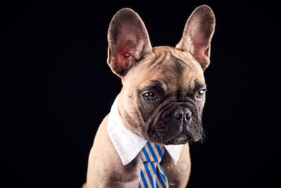 Studio Portrait Of French Bulldog Puppy Wearing Collar And Tie Against Black Background