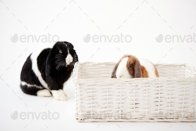 Studio Shot Of Two Miniature Flop Eared Rabbits Sitting In Basket Bed Together On White Background