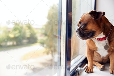 Bulldog Puppy Wearing Collar Looking Out Of Office Window