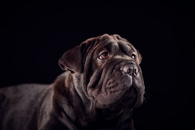 Studio Portrait Of Sharpei Puppy Against Black Background