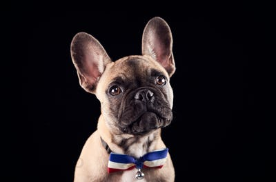 Studio Portrait Of French Bulldog Puppy Wearing Bow Tie And Collar Against Black Background