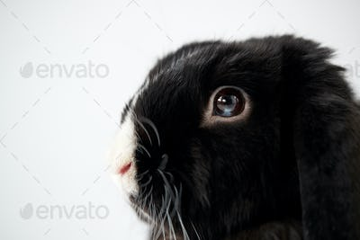Close Up Of Miniature Black And White Flop Eared Rabbit Lying On White Background