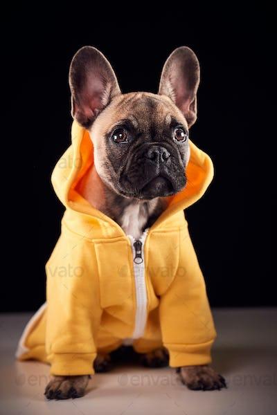Studio Portrait Of French Bulldog Puppy Wearing Hoodie Against Black Background