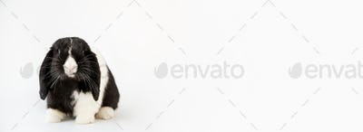 Studio Portrait Of Miniature Black And White Flop Eared Rabbit Sitting On White Background