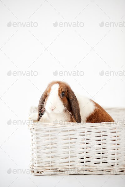 Studio Shot Of Miniature Brown And White Flop Eared Rabbit Sitting In Basket Bed On White Background
