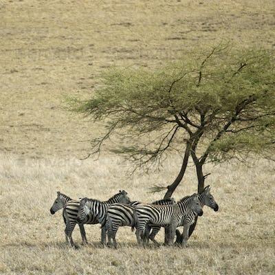 Zebra in the Serengeti, Tanzania, Africa