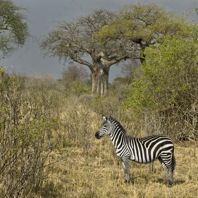 Side view of zebra standing in grassland, Tanzania