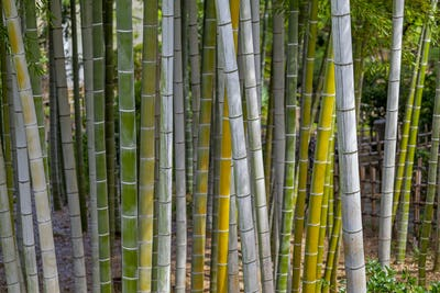 bamboo trunks in Bamboo Forest, Hiroshima, Japan.